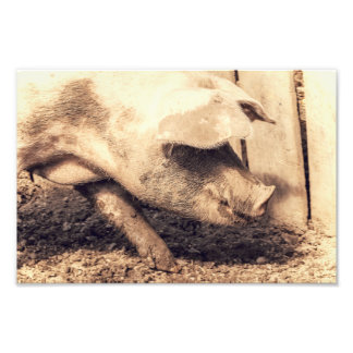 Pig Is Hungry Photograph