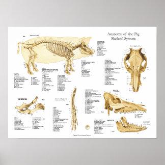 Pig Porcine Skeletal Anatomy Poster Chart