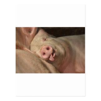 pig postcard