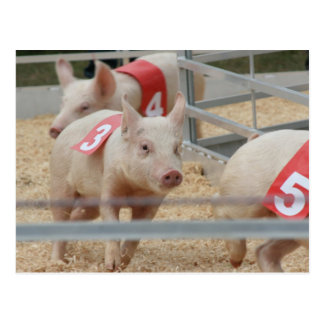 Pig racing pink piglet number three postcard