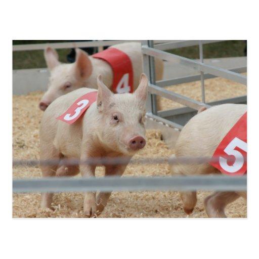 Pig racing pink piglet number three postcards