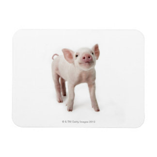 Pig Standing Looking Up Rectangular Photo Magnet