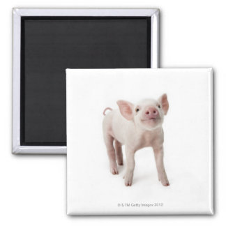 Pig Standing Looking Up Square Magnet