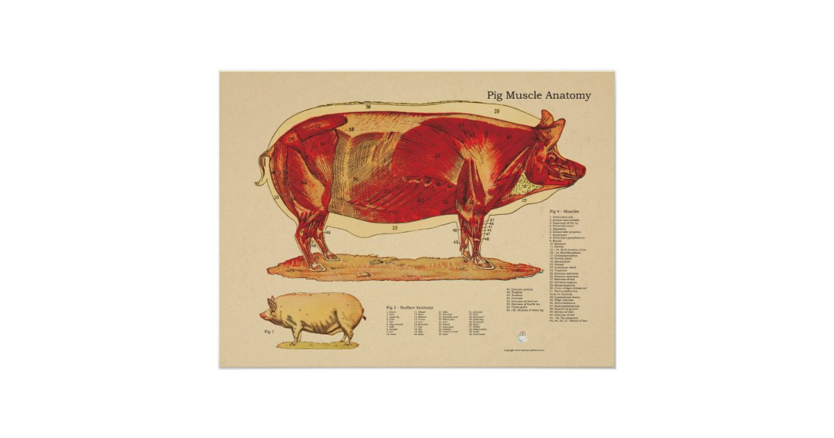 Pig Veterinary Muscle Anatomy Chart | Zazzle.com.au