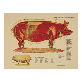 Pig Veterinary Muscle Anatomy Chart Poster
