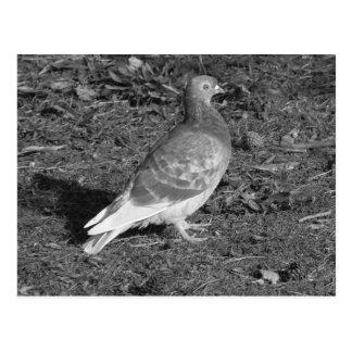 Pigeon at Roath Park Lake Cardiff (BW) Postcard