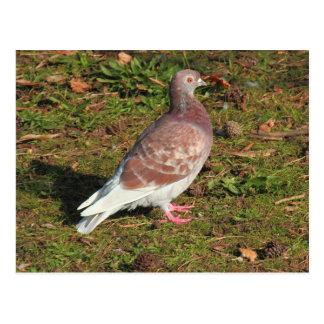 Pigeon at Roath Park Lake Cardiff Postcard