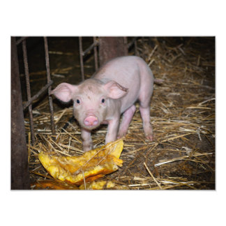 Piggy farm photo print