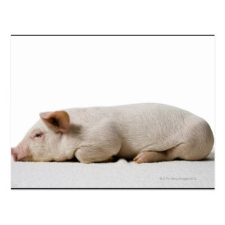 Piglet Lying Down Profile Postcard