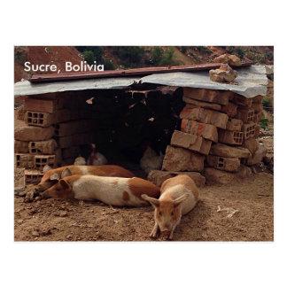 Pigs in Sucre, Bolivia Postcard
