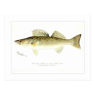 Pike Perch or Wall-eyed Pike Postcard