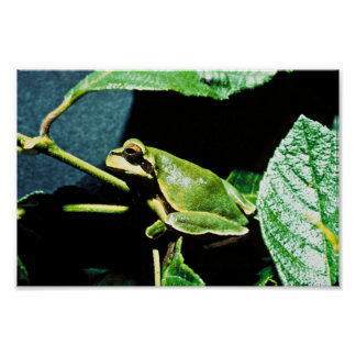 Pine Barrens tree frog Posters