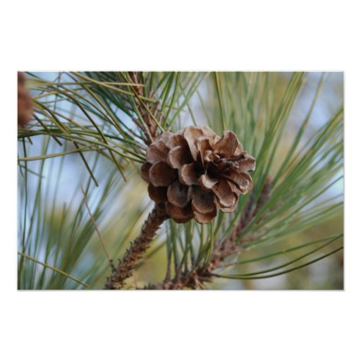 Pine Cone Posters