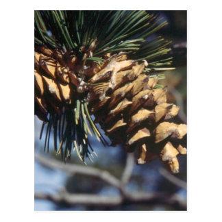 Pine Cones Postcard