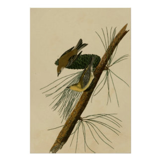 Pine Creeping Warbler Poster