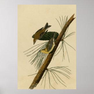 Pine Creeping Warbler Posters