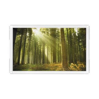 Pine forest with sun shining