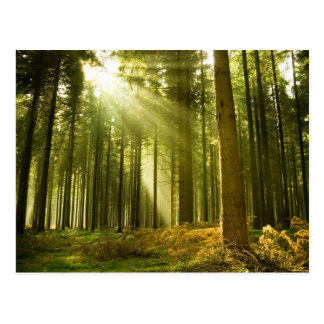 Pine forest with sun shining postcard