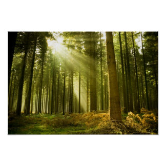Pine forest with sun shining poster