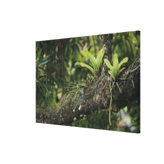 Pine Pink, Bletia purpurea, blooming on Mango Stretched Canvas Print