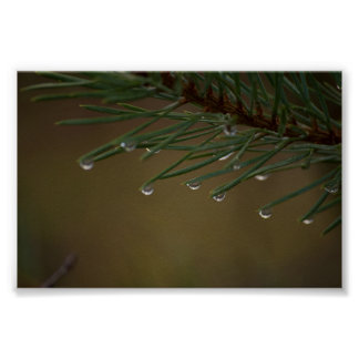 Pine Tree Drops Poster