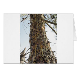 Pine tree resin on the trunk card