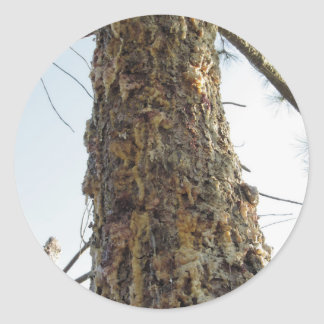 Pine tree resin on the trunk classic round sticker