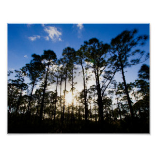 Pine trees, Oxbow Eco-center, Fort Pierce, Florida Poster