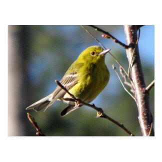 Pine Warbler in Cherry Postcard