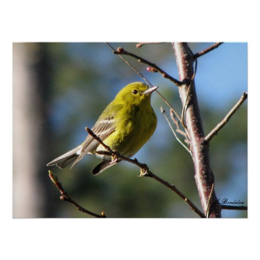Pine Warbler in Cherry Poster