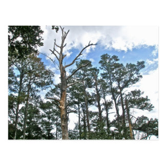 Pines on Beach Nature Trail OBX NC Post Cards