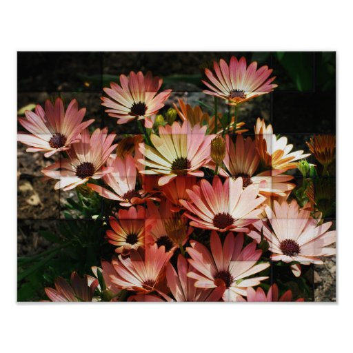 Pink African Daisies Through Glass Flower Poster