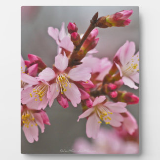 Pink Against A Gray Sky Japanese Cherry Blossoms Plaque