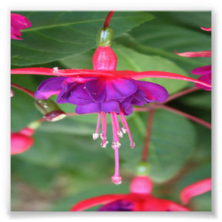 Pink and Purple Fuschia Flowers Photo Print