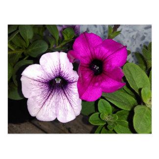 Pink And Purple Petunia Postcard