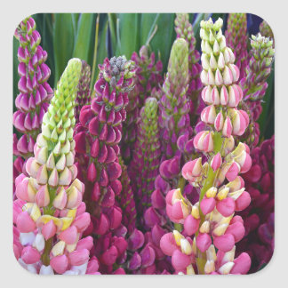 Pink and purple spring lupin flower garden square sticker