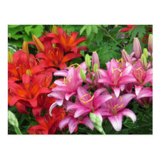 Pink And Red Lily Postcard
