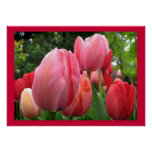Pink and Red Spring Tulip Garden Flowers Poster