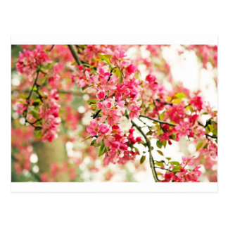 Pink and White Apple Blossoms Postcards