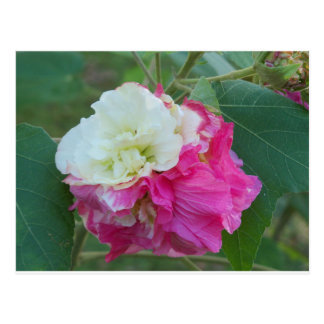 pink and white changeable hibiscus bloom postcard