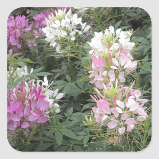 Pink and White Cleome Blooms Square Sticker