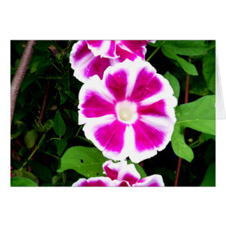 Pink and White Morning Glory Flowers Greeting Card