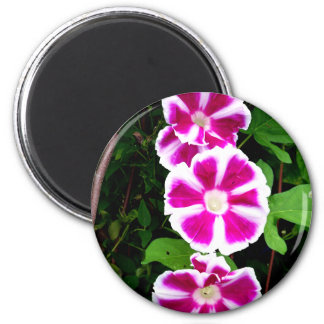 Pink and White Morning Glory Flowers Magnets
