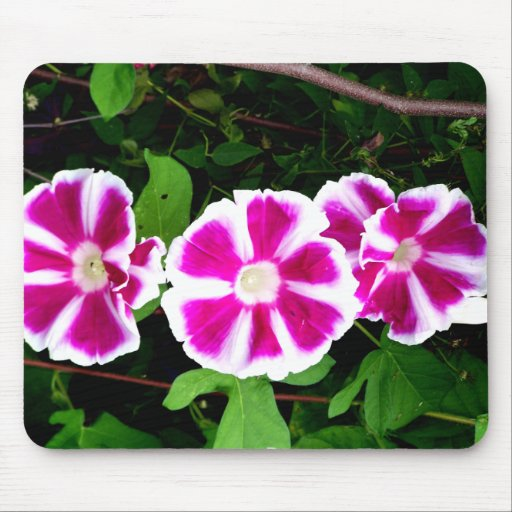 Pink and White Morning Glory Flowers Mousepad