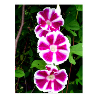 Pink and White Morning Glory Flowers Postcard