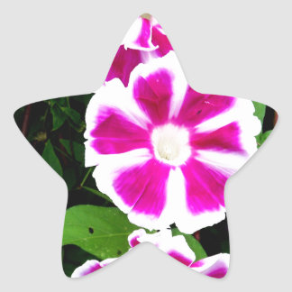 Pink and White Morning Glory Flowers Star Sticker