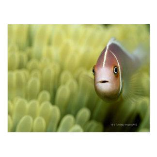 Pink Anemone Fish Postcard