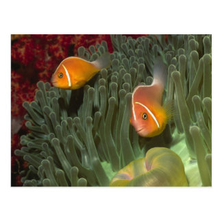 Pink Anemonefish in Magnificant Sea Anemone Postcard