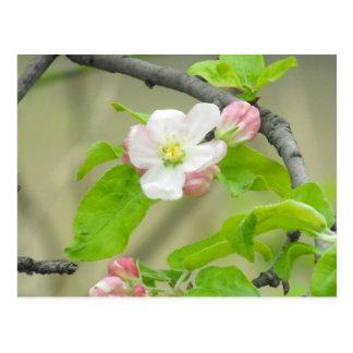Pink Apple Blossom Postcard