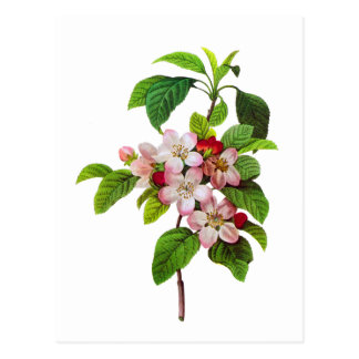 Pink Apple Blossoms by Pierre Jopseph Redoute Postcard
